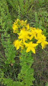 Třezalka v květu
