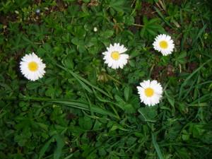 Sedmikráska chudobka kvete na trávníku