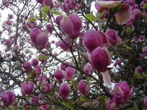 Kvetoucí stromek magnólie