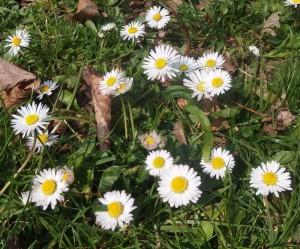 Květy sedmikrásek v trávě