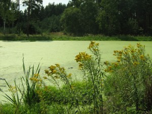 Zlatobýl rostoucí u jezírka