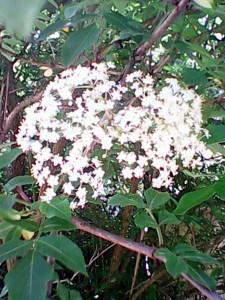 Rozkvetlý květ černého bezu