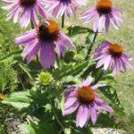Echinacea tinktura – domácí výroba