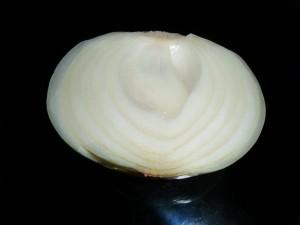 cibule v řezu