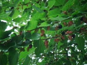 plody moruše