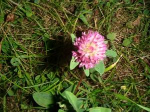 jetelový květ