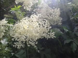 Bezinkové květy na slunci