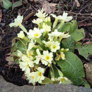 Kvetoucí prvosenka čili petrklíč na jaře