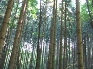 Les se vzrostlými smrky