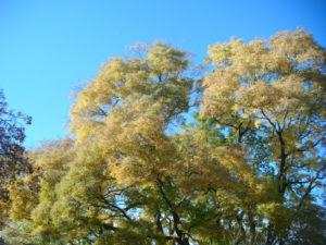 Krásná zlatá barva stromů na podzim