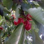 Zdravé třešně