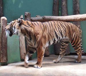 Tygr v pražské Zoo - Credit JM